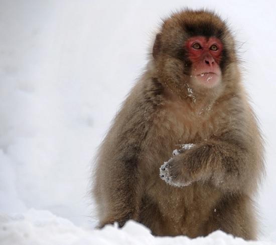 Парк обезьян Дзигокудани, Яманучи, Япония