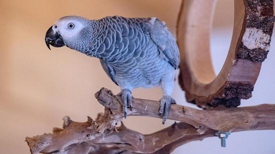 Английский хор из пяти попугаев зоопарка обругали посетителей нецензурной бранью